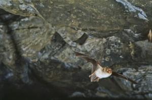Vattenfladdermus foto: Jens Rydell