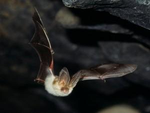 Långörad fladdermus Foto: Jens Rydell