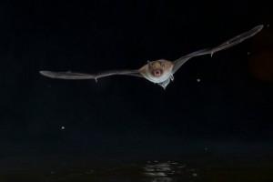 Vattenfladdermus / Foto: Felix Heintzenberg